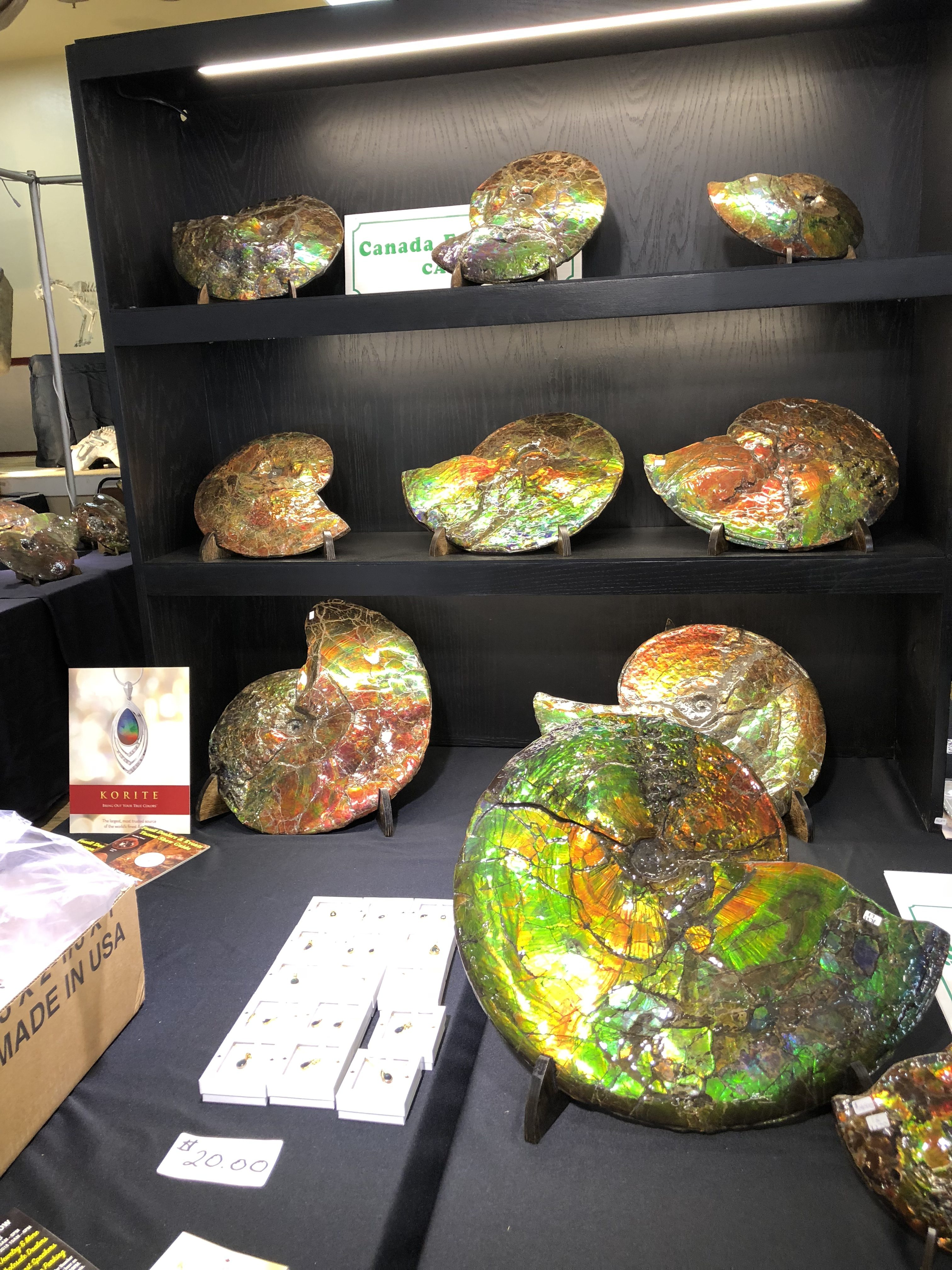Incredible ammonite fossils